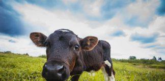 Laktoferyna – jak białko zawarte w colostrum wpływa na organizm?